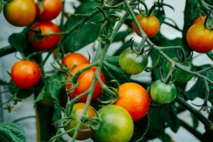 Tomato on tree - SES Research Inc.
